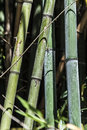 Green bamboo canes group 6 Royalty Free Stock Photo