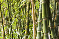 Green Bamboo Forest Stock Image