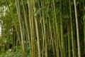Verde bambú bosque