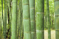 Green bamboo forest soft and light background with focus on front poles Stock Images