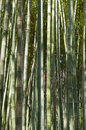 Green bamboo forest in summer time Royalty Free Stock Image