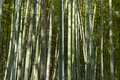 Green bamboo forest in summer time Stock Images