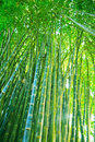 Green bamboo forest. Royalty Free Stock Photo