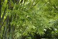 Green bamboo and fresh leaves Royalty Free Stock Photo