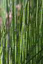 Green Bamboo Grass Royalty Free Stock Image