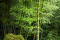 Green bamboo grove defocused in forest Stock Image