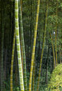 Green bamboo grove in wild forest Royalty Free Stock Photography