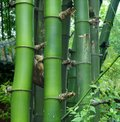 Green bamboo groves Royalty Free Stock Photography