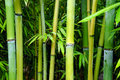Green bamboo groves