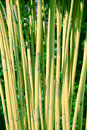 Green Bamboo Growing In Nature...