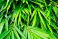 Green bamboo leaf closeup Royalty Free Stock Photo