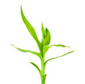 Green Bamboo Sprout Royalty Free Stock Photo