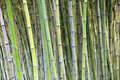 Green bamboo stems natural background Royalty Free Stock Photography