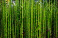 Green bamboo texture in nature, Strasbourg Royalty Free Stock Photo
