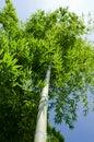 Green bamboo tree Royalty Free Stock Photo