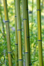 Green Bamboo Trees Royalty Free Stock Image