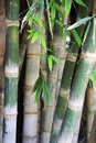 Green bamboo trees closeup picture Stock Photography