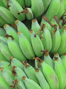 Green banana bunch Stock Photography