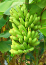 Green banana bunch of on the tree Royalty Free Stock Photos