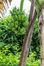 Green banana hanging on a branch of a tree Royalty Free Stock Image