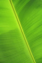 Green banana leaf texture Stock Photography