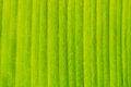 Green banana leaf texture in Royalty Free Stock Images