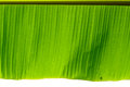Green banana with water drop leaf background Royalty Free Stock Images