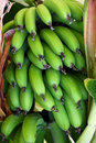 Green bananas bunch Stock Images