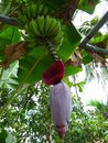 Green bananas and the flower bud of a banana tree Royalty Free Stock Photo