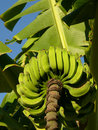 Green Bananas on the Tree Stock Images