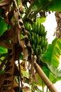 Green Bananas on a Tree Royalty Free Stock Photo