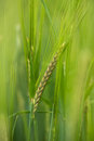 Green Barley Royalty Free Stock Image