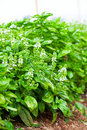 Green basil Stock Photo