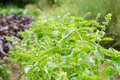 Green basil growing in an organic garden close up Royalty Free Stock Image