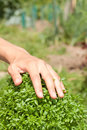 Green basil plant and human hand growing Stock Images