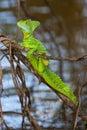 Green basilisk Royalty Free Stock Images