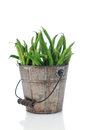 Green Bean in Rustic Bucket Stock Images