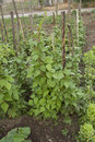 Green beans plant
