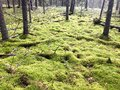 Green beautiful bright green hummocks covered with soft fluffy moss on a swamp in a coniferous forest and trunks of trees