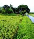 Green beautiful natural paddy field of rainy days Royalty Free Stock Photo