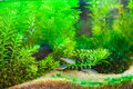 Green beautiful planted tropical freshwater aquarium with fishes underwater Royalty Free Stock Photo