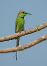 A Green bee eater bird Royalty Free Stock Photo