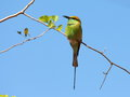 Green bee eater little green bee eater the Stock Photography