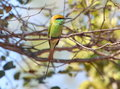 Green bee eater little green bee eater the Royalty Free Stock Image