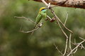 Green bee eater little green bee eater the Stock Images