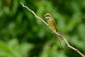 Green bee eater merops orientalis beautiful in thailand Royalty Free Stock Photography