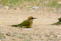 Green bee eater merops orientalis beautiful in thailand Royalty Free Stock Photo