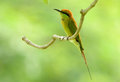 Green bee eater merops orientalis beautiful in thailand Stock Photos