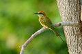 Green bee eater merops orientalis beautiful in thailand Royalty Free Stock Photos