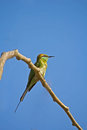 Green bee eater merops orientalis in porbandar bird sanctuary Stock Photos